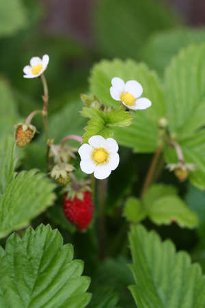 Wild Strawberry Flower photo