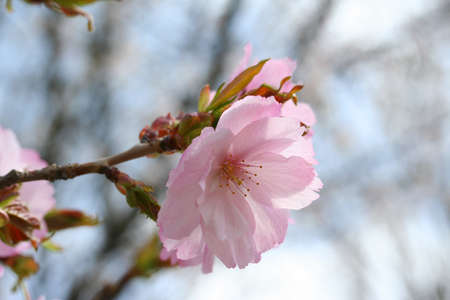 Cherry blossom double-flowered