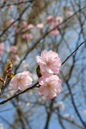 rosaceae: Cherry blossom double-flowered
