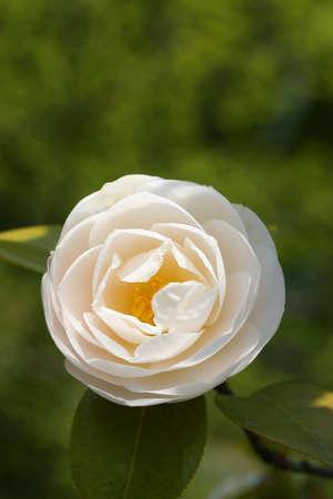camellia: Japanese camellia