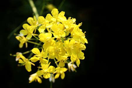 rape plant: Japanese rapeseed flower