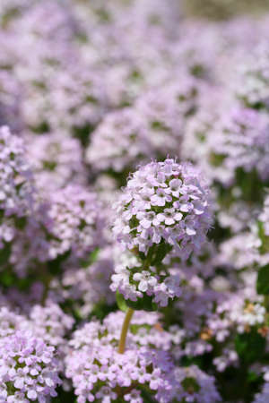 medicated: This is a picture of the flower called creeping thyme Wild thyme   Stock Photo
