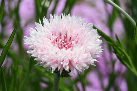 garden cornflowers: Cornflower