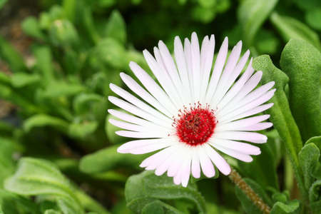 Livingstone Daisy Stock Photo - 20459605