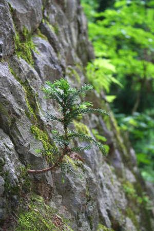 cedar: Cedro japonés, que crece en la pared de piedra
