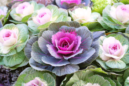 flowering kale: Ornamental cabbage