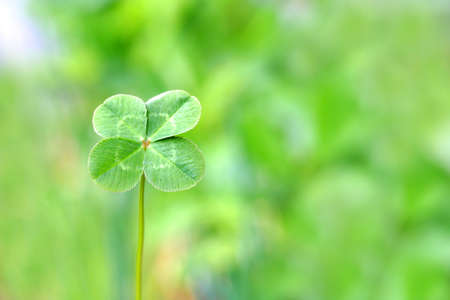 four leaf: Tr�bol de cuatro hojas Foto de archivo