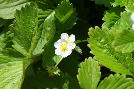 wild strawberry: Wild Strawberry Flower Stock Photo