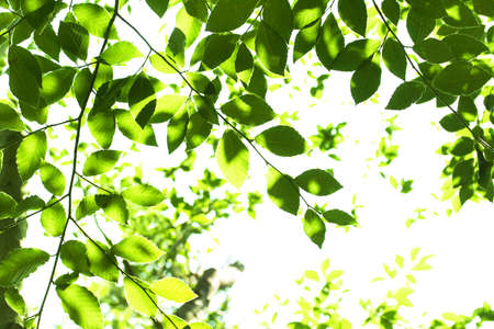 Leaves of beech
