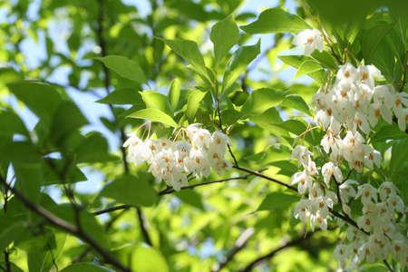 Japanese snowbell Styrax japonicus 写真素材 - 29272197