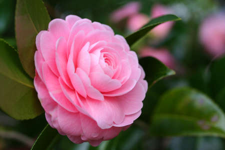 camellia: Double-flowered camellia