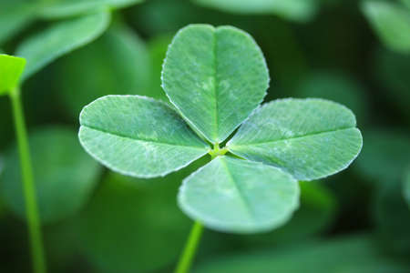 four leaved: four leaf clover Stock Photo