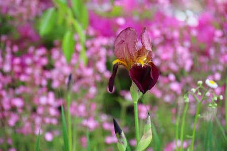 German iris photo