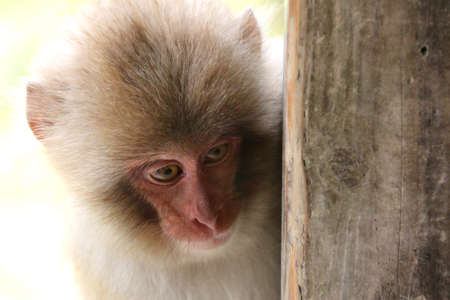 macaque: Child of Japanese macaque