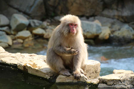 Wild Japanese macaque