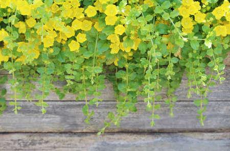 Golden creeping Jenny Lysimachia nummulariaAurea