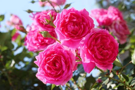 pink skies: Vine rosePink Cloud