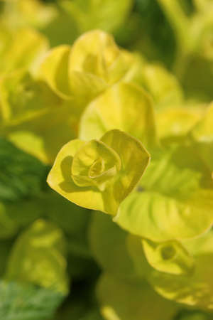 yellowish green: Golden creeping Jenny Lysimachia nummulariaAurea