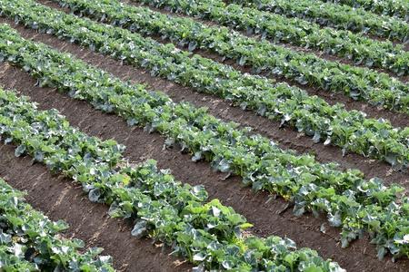 broccoli: Broccoli planten groeien in een veld