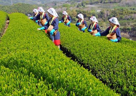 KAGAW, JAPAN - 21 april: Harvest in de thee velden, jonge Japanse vrouwelijke thee kiezer trekt versheid thee. 21 april 2008, Kagawa, Japan.