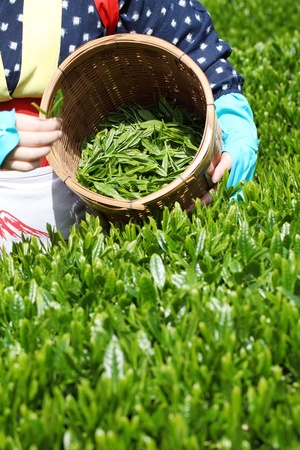 Women with clothing kimono picks tea leaves Stock Photo