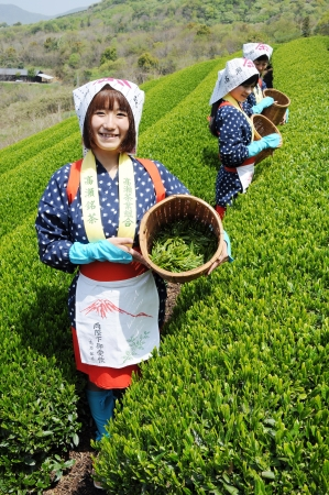 Mitoyo Kagawa, Japan - April 23: Young japanese women with traditional clothing kimono harvesting tea leaves on hill of tea plantation on April 23, 2012 Mitoyo Kagawa, Japan. Stock Photo - 13337710