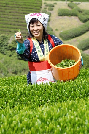 Mitoyo Kagawa, Japan - April 23: Young japanese woman with traditional clothing kimono harvesting tea leaves on hill of tea plantation on April 23, 2012 Mitoyo Kagawa, Japan.