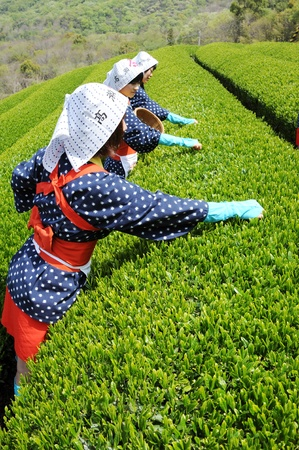 Mitoyo Kagawa, Japan - April 23: Young japanese women with traditional clothing kimono harvesting tea leaves on hill of tea plantation on April 23, 2012 Mitoyo Kagawa, Japan. Stock Photo - 13337709