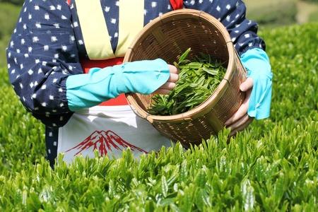三豊香川県 - 4 月 23 日: 日本の若い女性と伝統的な服着物 2012 年 4 月 23 日の紅茶プランテーションの丘の上に茶葉を収穫香川県三豊。