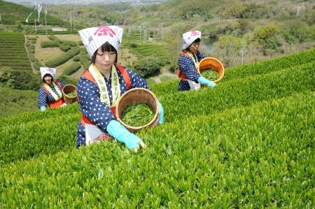 三豊香川県 - 4 月 23 日: 日本の若い女性と伝統的な服着物 2012 年 4 月 23 日の紅茶プランテーションの丘の上に茶葉を収穫三豊 Kagawa, 日本。 報道画像