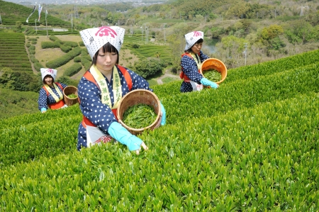 MITOYO KAGAWA, JAPAN - APRIL 23: Young japanese women with traditional clothing kimono harvesting tea leaves on hill of tea plantation on April 23, 2012 Mitoyo Kagawa, Japan. 에디토리얼