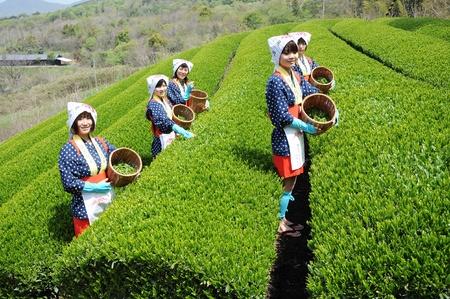 MITOYO KAGAWA, JAPAN - APRIL 23: Young japanese women with traditional clothing kimono harvesting tea leaves on hill of tea plantation on April 23, 2012 Mitoyo Kagawa, Japan. Editorial