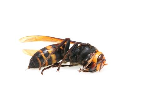 cadaver: Closeup of dead hornet on white background  Stock Photo