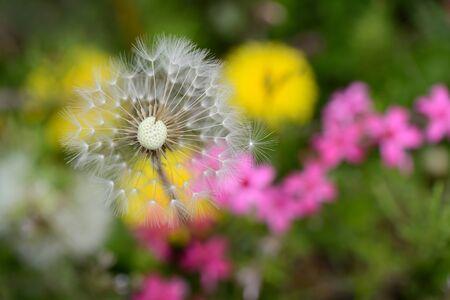 White dandelion on a grass Stock Photo - 19325135
