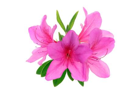 azalea flowers  photo