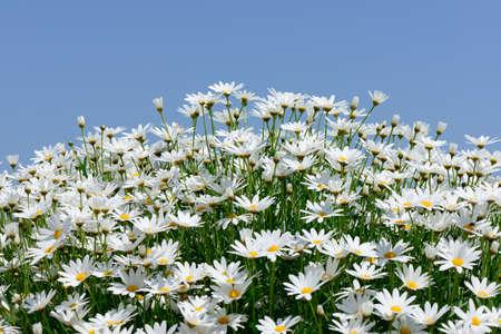 White marguerite flowers against blue sky  photo