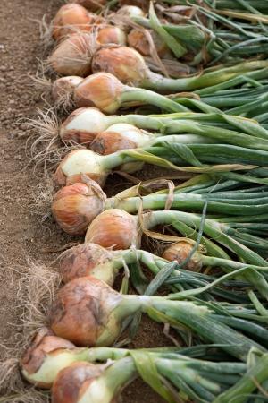 フィールドに熟した収穫された玉葱