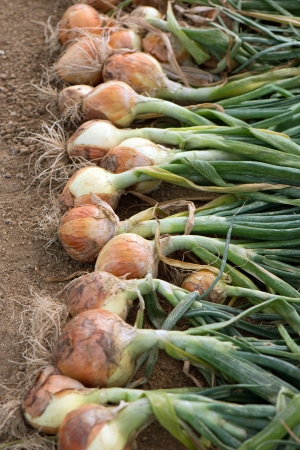 Ripe harvested onion bulbs on the field