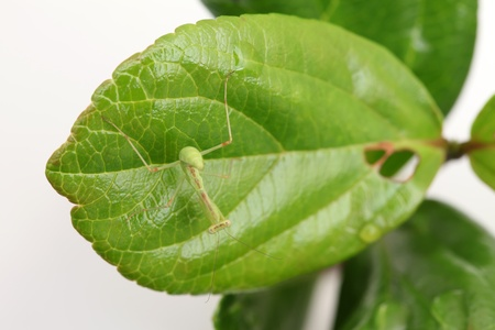 beneficial insect: closeup of praying mantis larva on leaf