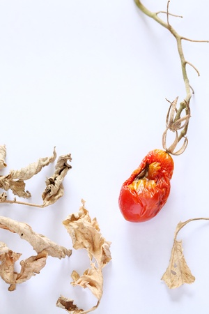 dried cherry tomato on a white background  photo