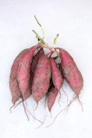 batata: planta de la patata dulce con tubérculos en la superficie de tierra del suelo
