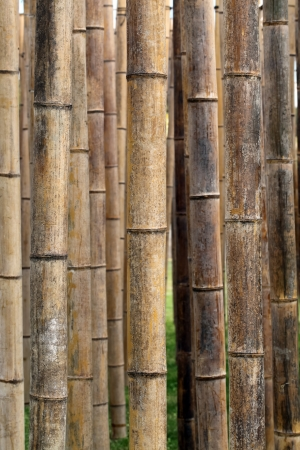 Bamboo forest close up, background or texture photo