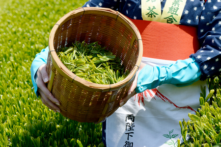 japanese woman harvesting green tea leaves  photo