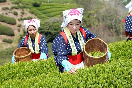 Mitoyo Kagawa, Japan - April 23, Young japanese woman with traditional clothing kimono harvesting green tea leaves on hill of tea plantation on April 23, 2014 Mitoyo Kagawa, Japan  Editorial