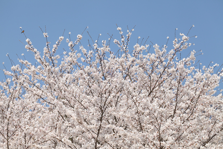 cherry blossom tree against the clear blue sky photo