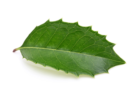 holly leaf on white background photo