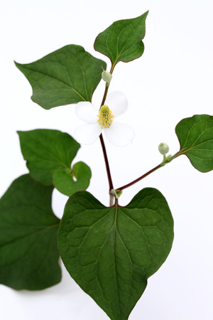 white flower of a houttuynia cordate plant