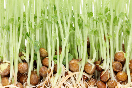 sprouted pea with roots, texture photo