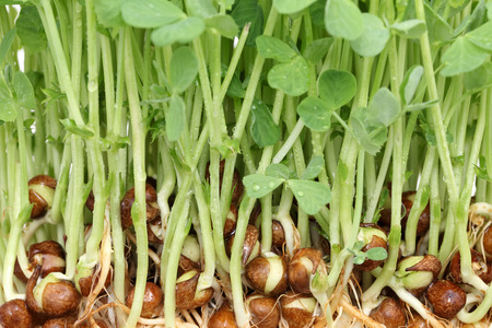 sprouted: close up of sprouted pea