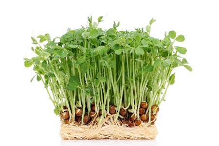 sprouted pea with roots isolated on white background photo